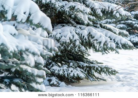Coniferous forest in winter on  cloudy day