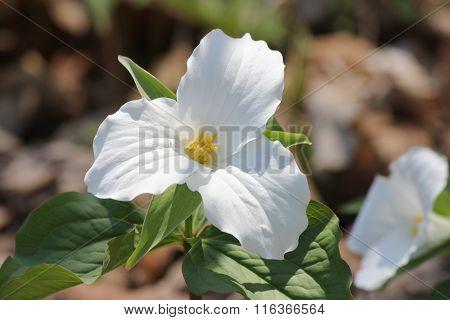 Trillium grandiflorum(White)