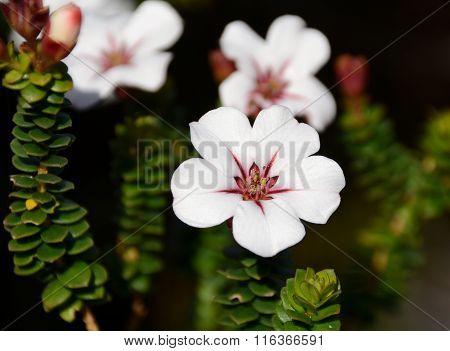 Adenandra Villosa (china Flower) (china Flower)