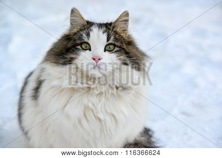 Longhaired cat sitting on the snow