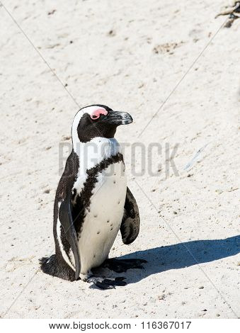 Penguin on African beach