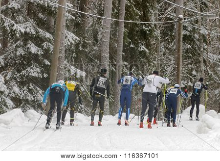 STOCKHOLM - JAN 24 2016: GRear view of a group of cross country skiing men in the beautiful spruce forest at the Stockholm Ski Marathon event January 24 2016 in Stockholm Sweden