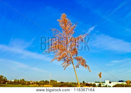 Blooming Reed With Blue Sky
