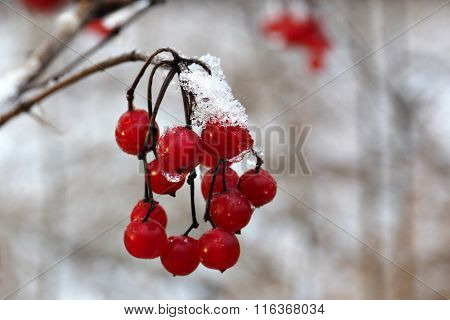 Red berries viburnum under the snow.