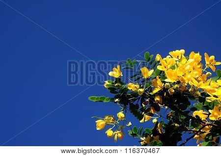 Senna Spectabilis With Blue Sky In Thailand