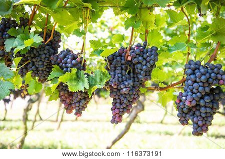 Wine Grape Plants In Vineyard. Red Grapes With Green Leaves