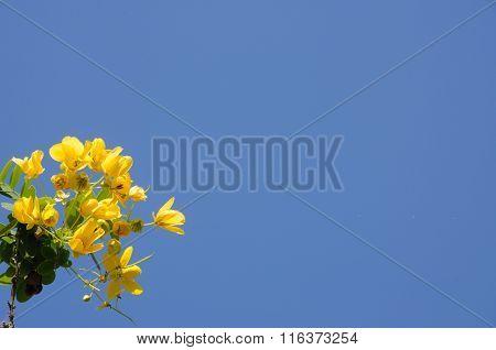 Thai Flower Senna Spectabilis