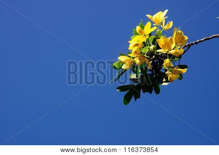 Thai Herb Senna Spectabilis