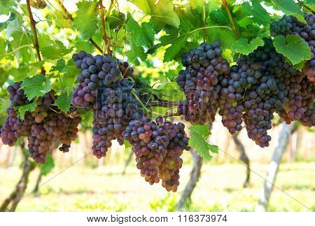Vine Grape Fruit Plants In Vineyard