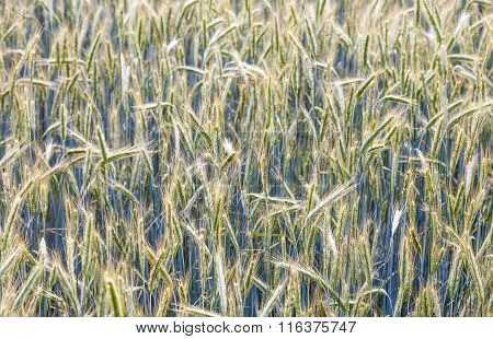 Corn Field With Spica And Structured Spear