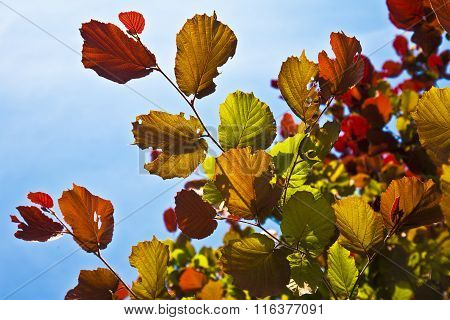 Beautiful Leaves From A Birch