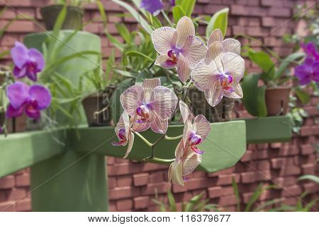 Beautiful Orchid Phalaenopsis