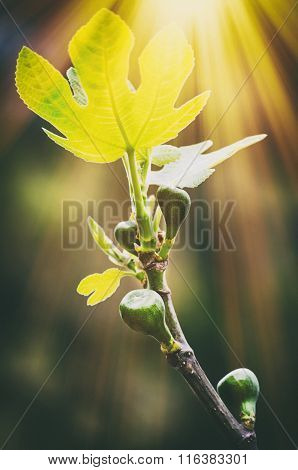 Fig Tree In Sunny Day
