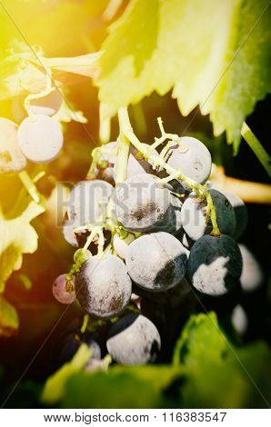 Dark Grape In Sunny Day