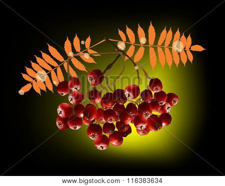 illustration with red ashberries on dark background