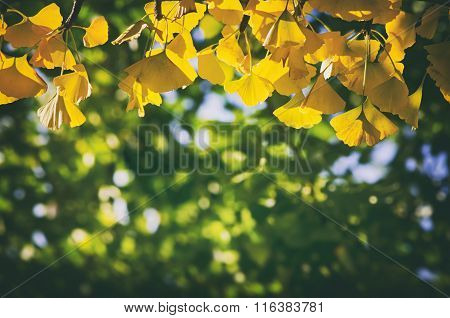 Golden Autumn Ginkgo Biloba