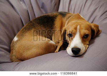 Beagle Dog Sit On Couch