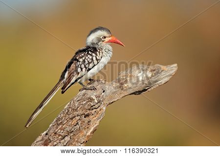 Red-billed hornbill (Tockus erythrorhynchus) perched on a branch, South Africa