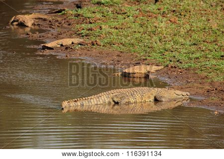 Nile crocodiles (Crocodylus niloticus) basking, Kruger National Park, South Africa