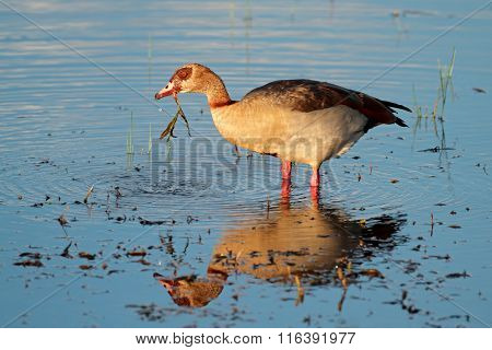 Egyptian goose (Alopochen aegyptiacus) foraging in shallow water, South Africa