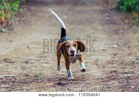 A Young Beagle Dog Hurtling Fun Into The Forest.