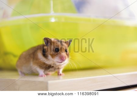 Hamster Sits Near Its Cage