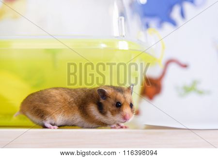 Hamster Runs Near Its Cage