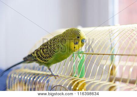 Budgerigar On its Birdcage. Budgie