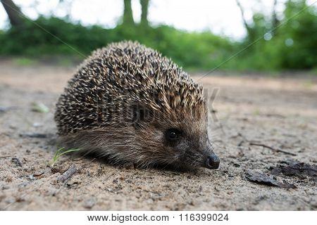 One Hedgehog