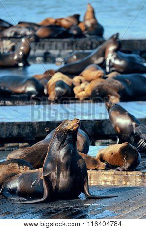 Seals rest at Pier 39, San Francisco.