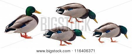 Mallard Duck with clipping path isolated on white background