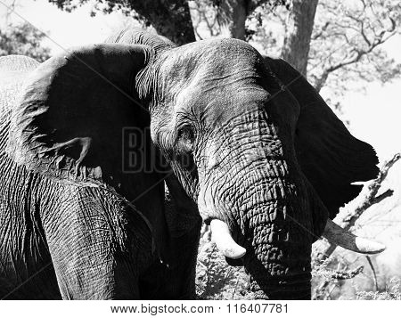 Portrait of large african elephant