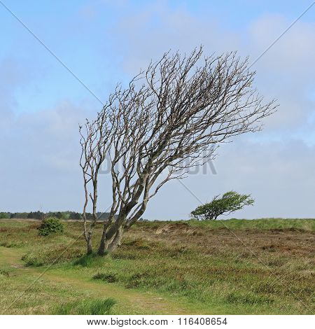 Windswept Trees In The Braderup Heath On The Island Of Sylt