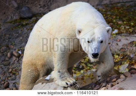 Polar Bear Staring on rock