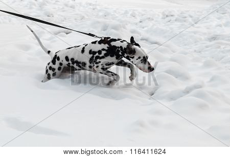 Black And White Dog Breed Dalmatian