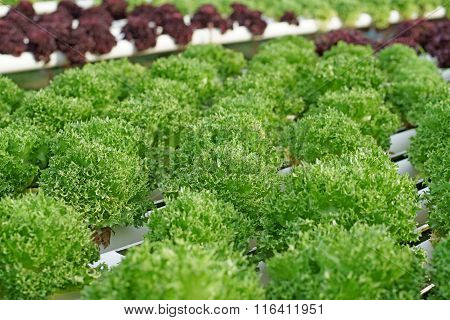Organic Hydroponic Vegetable