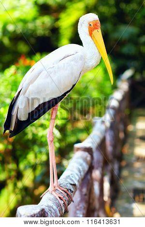Portrait Of Yellow-billed Stork