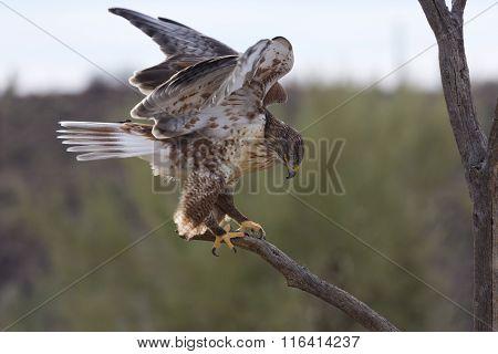 Active Ferruginous Hawk In Arizona