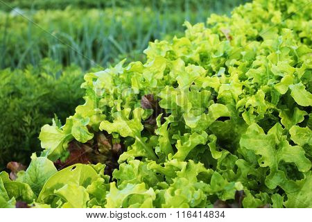 Lettuce And Other Vegetables In The Garden