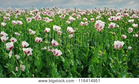 Poppy Field, Opium Poppy V.