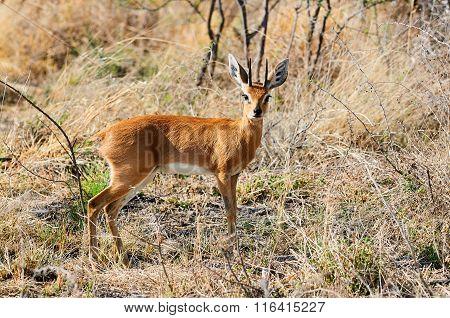 Steenbok A Little African Antelope