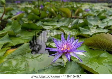Purple Water Lily Flowers In The Pond