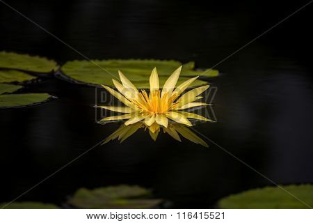 Yellow Water Lily Flowers In The Pond
