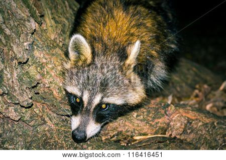 Raccoon In Wood Close-up