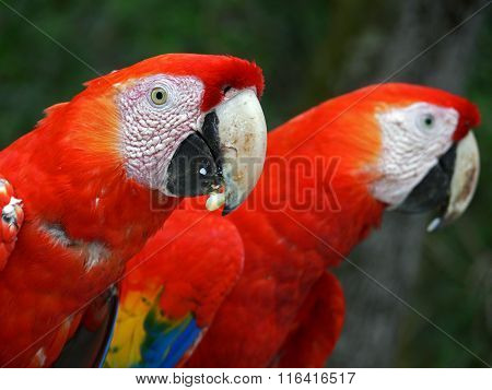 Rainbow twin parrots