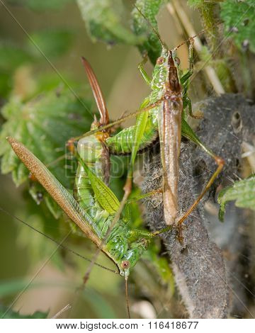 Long-winged cone-head crickets (Conocephalus discolor) mating
