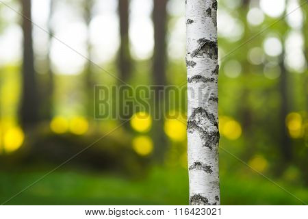 Trunk Of Birch Tree In Beautiful Evening Light