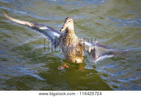 Duck Taking Off From Water
