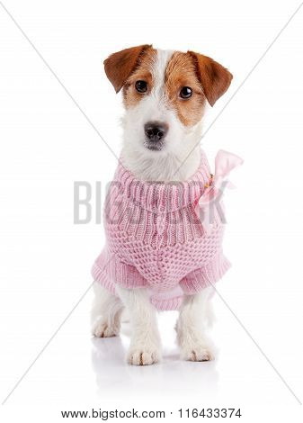 Small Doggie Of Breed A Jack Russell Terrier In A Pink Jumper