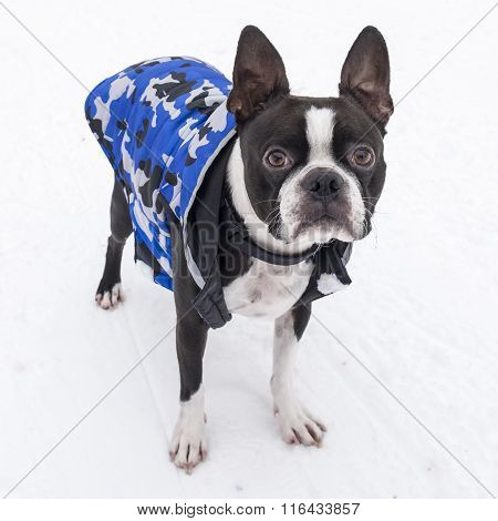 Boston Terrier Dog in Snow Wearing Blue Jacket